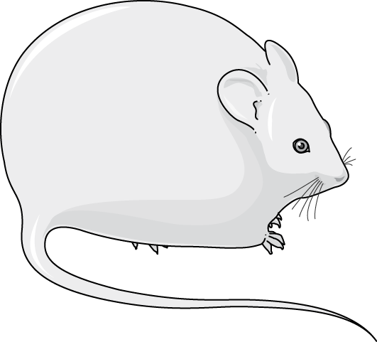 souris obese