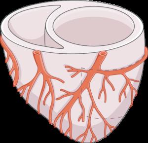 ventricule diastole